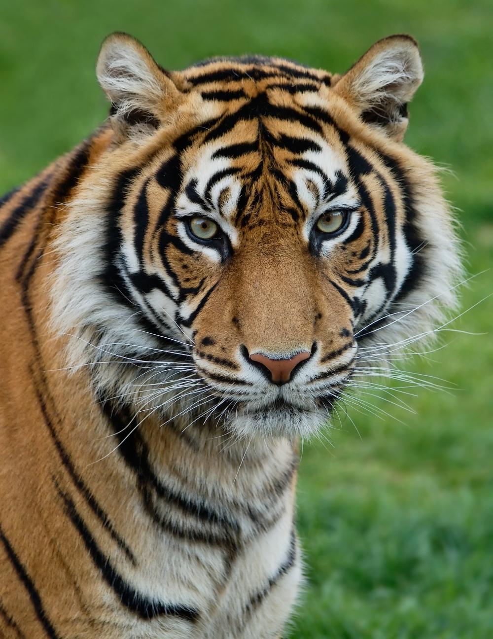 zoo de lisboa_ tigre de sumatra